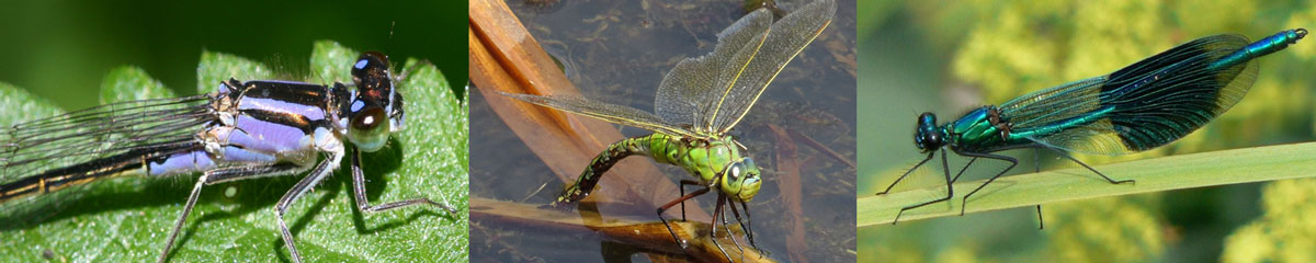 GroupID-header-dragonflies-.jpg