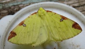 brim moth