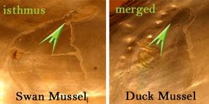 Swan_Duck_Mussels.jpg