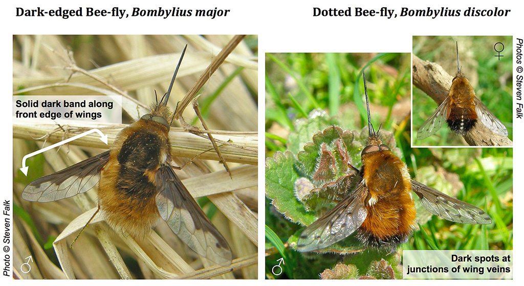 Bee flies
