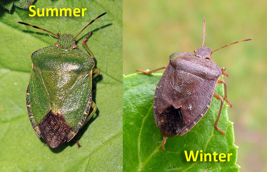 Common Green Shieldbug