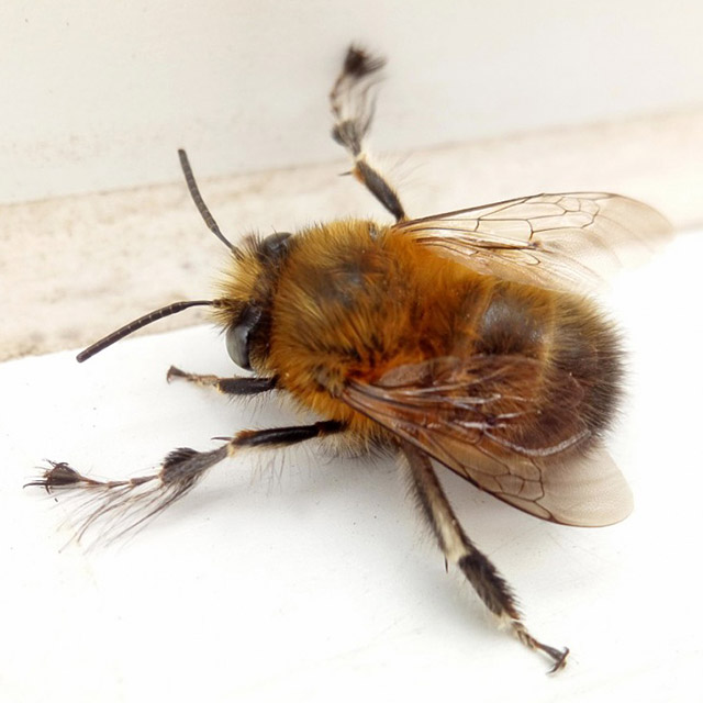 NatureSpot Challenge - Hairy-footed Flower Bee