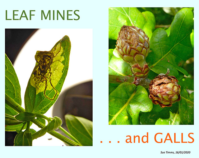 Leafmines and Plant Galls