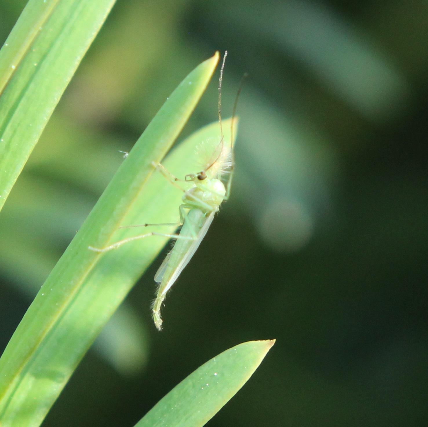 Green midge or mosquito