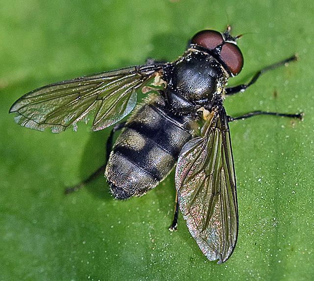 Portevinia maculata