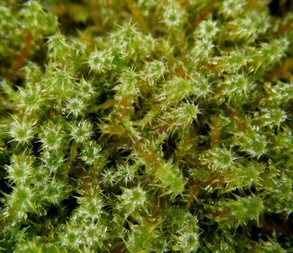Springy Turf-moss