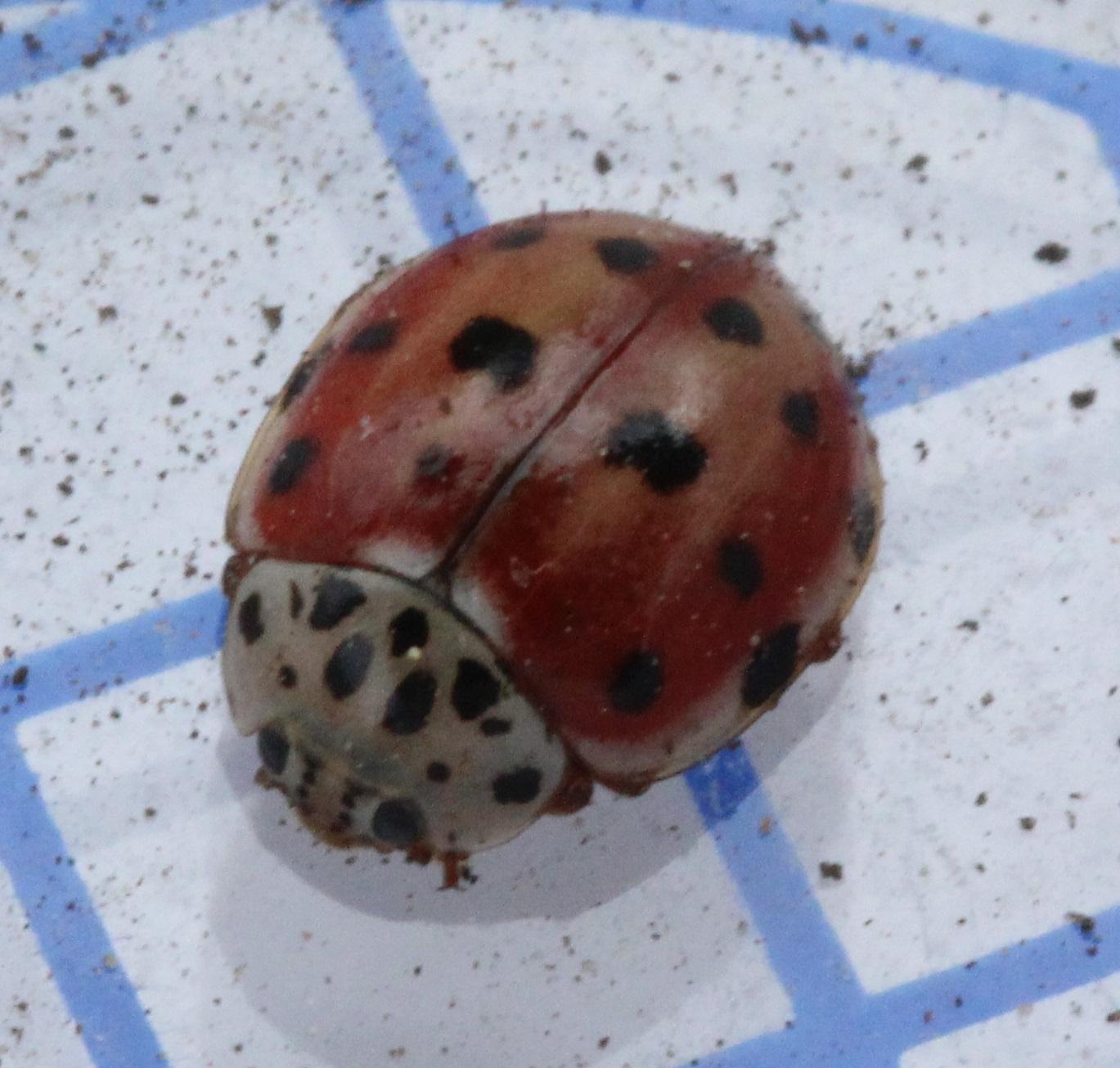 Cream-streaked ladybird