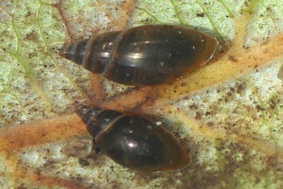 Moss Bladder Snail