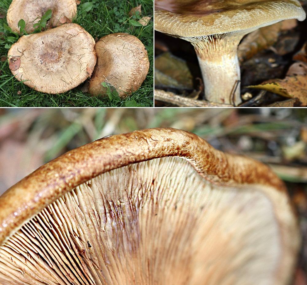 Brown Rollrim Paxillus involutus